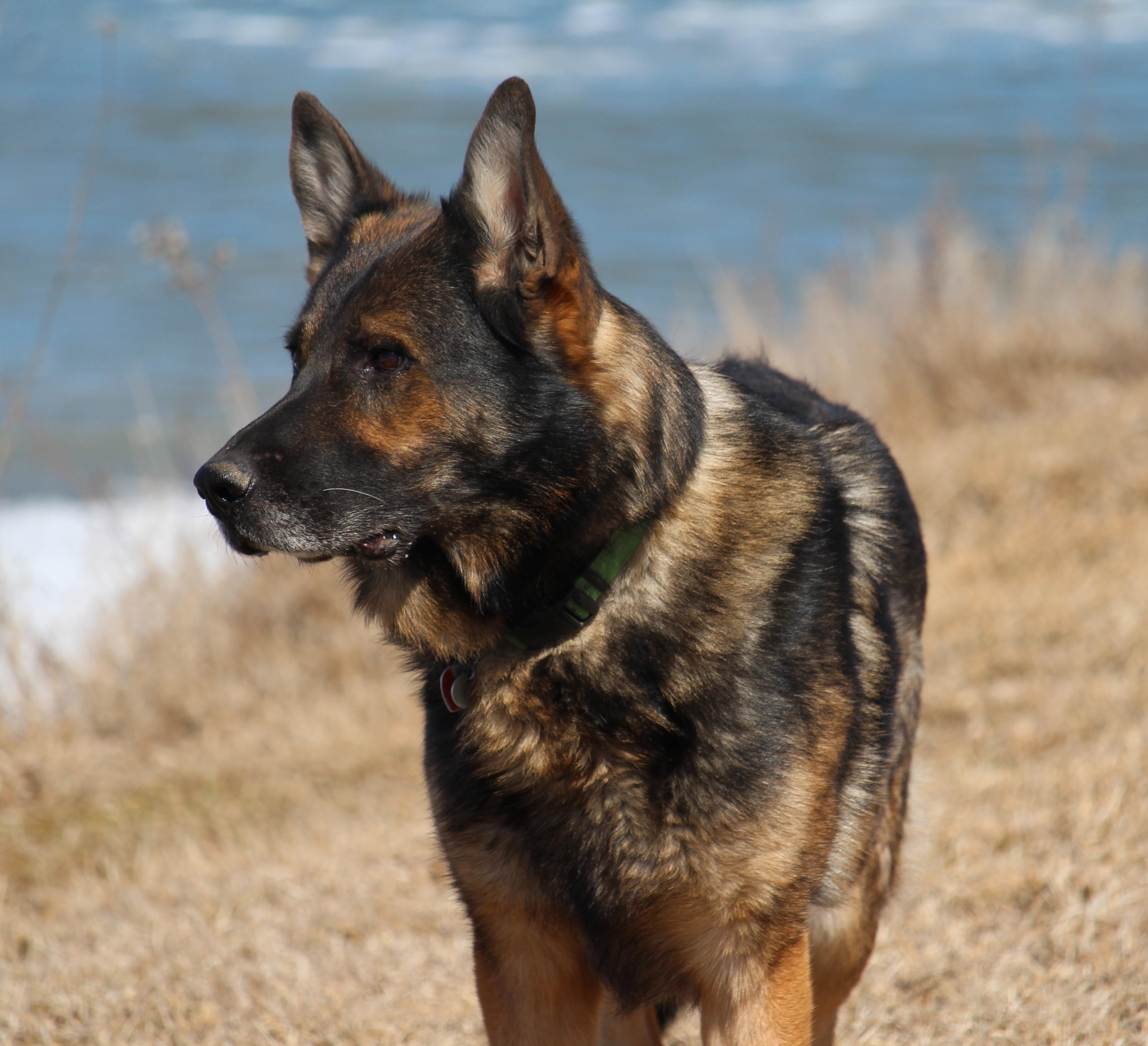 Herding Dog Training Maryland